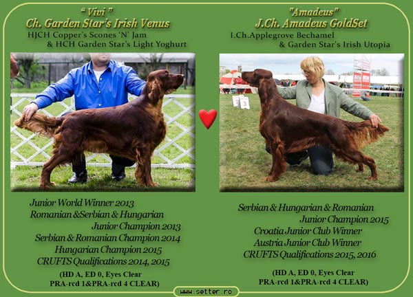 Cuib de irish red setter 2017 Vivi & Amadeus